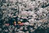 "Nakameguro, Tokyo, 2017 (librarymook) Tags: ""olympus pen f"" ""leica dg nocticron 425mm f12 asph"" vsco vscofilm leica panasonic microfourthirds m43 olympus lumix justgoshoot japanese hanami sakura ""cherry blossom"" viewing full bloom flower canal bridge walkway nature lantern light daily life osanpocamera 東京カメラ部 nakameguro tokyo japan"