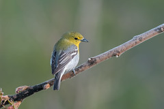 Yellow throated Vireo (Joe Branco) Tags: ontario canada photoshopcc2017 nikond500 nikon nature wildlifephotography joebrancophotography branco joe yellowthroatedverio vireo birds wildlife green