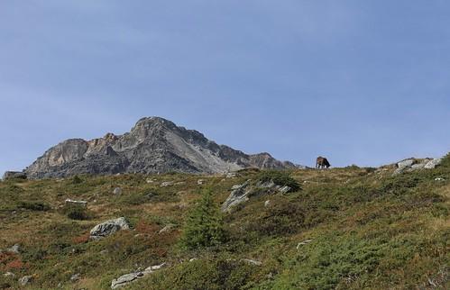 une vache et la Pointe de Lona