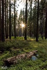Tolumne Forest