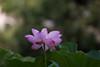 20170918 薬師池公園【大賀蓮】 (syashindorakunin) Tags: 花 大賀蓮 薬師池公園 nelumbonucifera lotus japan yakushiikepark ハス 蓮