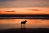 every curve and every angle (Claudia Künkel) Tags: oregon sunset dusk beach ocean dog silhouette sky blanca bordercolliemix pacific