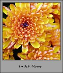Chrysanthemum 23 (M.J.Woerner) Tags: november fallmums asteraceae chrysanths autumcolors postermums chrysanthemum autumflower
