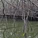 Navegando entre los manglares de Tumbes