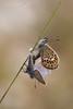 Plebejus argus - Italy (Antonella_Taddei) Tags: farfalle butterflies natura nature abruzzo italia italy gransasso licenidi plebejusargus