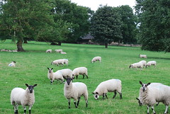 Inquisitive .... (Halliwell_Michael ## sorry very slow at the moment) Tags: brighouse westyorkshire nikond40x 2017 priestleygreen farmland sheep trees brighouseecho landscapes rural coth alittlebeauty specanimal