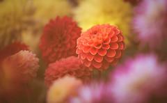 Dahlia (Dhina A) Tags: sony a7rii ilce7rm2 a7r2 tamron sp 70200mm f28 di vc usd tamronsp70200mm zoom telephoto lens metabones iv dahlia flower bokeh
