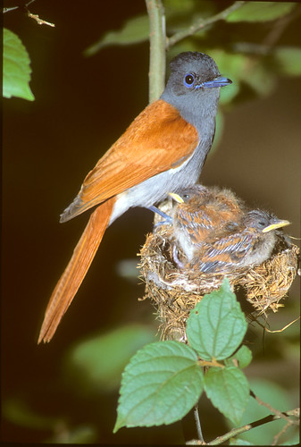 Paradise Flycatcher , with nestlings , 0635