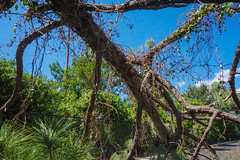 Fallen Tree due to Hurricane Irma (SantanaaBananaa) Tags: tree destruction hurricane irma nature