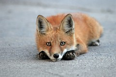 Urban Wildlife Part II (marylee.agnew) Tags: red fox kit parking lot cute contemplating young wildlife outdoor nature urban city