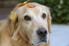I think fall is arriving-38/52 Weeks for Dogs (Karon Elliott Edleson) Tags: fall leaves autumn atticus golden goldenretriever 52weeksfordogs