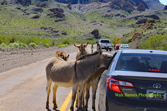 Oatman, Ariz. March 21, 2017. (Walt Barnes) Tags: canon eos 60d eos60d canoneos60d wdbones99 topazsoftware pse15 oatman arizona burros animal wildlife miningcamp miningtown mine gold silver history vintage old historic