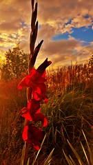 (luthomas) Tags: flower red green grass sunset warm light beautiful sky dramatic blue park outdoor nature