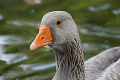Goose portrait (3/4) : grey goose of Toulouse / oie grise de Toulouse (Franck Zumella) Tags: bird oiseau goose geese oie grey gris blanc blanche white grise bleu oeil blue eye swan cygnoide toulouse domestique nature animal