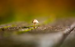 Toadstool on a Bench (Peter Quinn1) Tags: bench toadstool fungi fungus bokeh autumn narrowdepthoffocus wildlifetrustforsheffieldandrotherham swt blackburnmeadowsnaturereserve rotherham moss