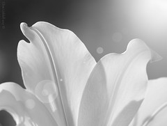 Lily (Elisafox22 catching up again ;o)) Tags: elisafox22 sony ilca77m2 100mmf28 macro macrolens telemacro hmbt monochromebokehthursday lily petals flower texture textures monochrome blackandwhite monotone shadows bw mono greyscale elisaliddell©2017
