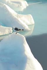 Looking Out For Polar Cod (Derbyshire Harrier) Tags: arctic 2017 higharctic pressureridges svalbard rissatridactyla blackleggedkittiwake oceanwideexpeditions ortelius seaice packice icicles ice blue naturetrek