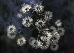 Autumn Beauty (woodchuckiam) Tags: autumn fall wildflower flower plant seeds bokeh brooklynwildlifesegment iceagetrail daneandgreencounties wisconsin woodchuckiam puffball