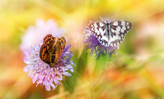 Summer butterflies. (augustynbatko) Tags: summer butterfly nature meadow macro bokeh blur insect flower