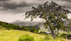 Lonely old tree (steve appleton) Tags: countryside tree thunder dales yorkshiredales rural stormclouds foreboding