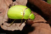 Scarab beetle (Platycoelia humeralis) (edward.evans) Tags: sierradelmerendón merendónmountains merendon merendonmountains honduras cusuco cusuconationalpark operationwallacea opwall cloudforest ranforest wildlife nature centralamerica latinamerica scarab beetle platycoelia humeralis scarabbeetle platycoeliahumeralis scarabaeidae rutelidae
