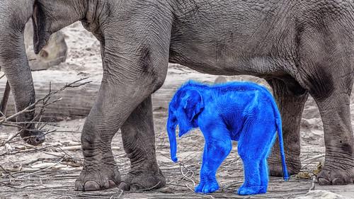 Kleiner blauer Elefant HSS