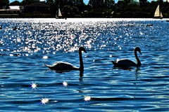 Sunburts Galore (stellagrimsdale) Tags: lake swans birds sun sunlight sunburst sunshine sparkle sparkles