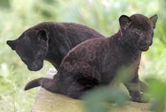 jaguar, born 28 6 2017 artis BB2A2644 (j.a.kok) Tags: jaguar blackjaguar zwartejaguar jaguarcub artis rica mowgli mammal zoogdier dier animal southamerica zuidamerika kat cat predator pantheraonca