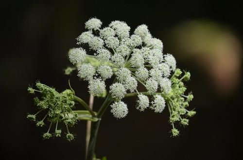 [Apiaceae] Angelica sylvestris (Wilde Brustwurz, Wald-Engelwurz)