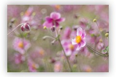 Summer bokeh (SonjaS.) Tags: blumen flowers trioplan 100mm makro bokeh bubbles garten tübingen botanischergartentübingen blümchen anemone