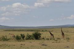 20170614_1196_Masai Mara_Girafe Masai (fstoger) Tags: kenya masaimara viesauvage wildlife safari girafe girafemasai masaigiraffe afrique africa