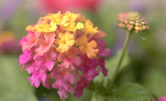 Lantana (Dotsy McCurly) Tags: lantana flower plant pink yellow nature beautiful bokeh soft canoneos80d efs35mmf28macroisstm nj newjersey