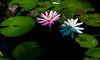 Amaranth (kietbull) Tags: kietbull amaranth lily waters morning wednesday vietnam suburbs hocmon shades shadow