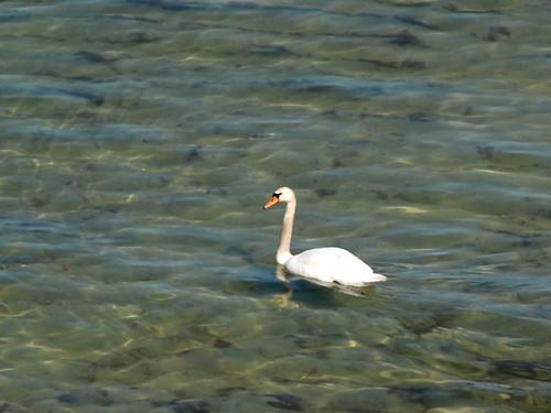 Swan ©  Andrey