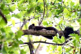 Black squirrel found!