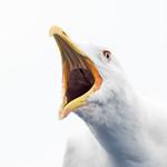 Portrait of Mongolian gull (Larus (vegae) mongolicus) thumbnail