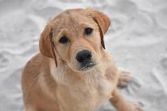 Deep Gaze. (Hollingsworth18) Tags: puppy lab labrador beach sand summer eyes cute