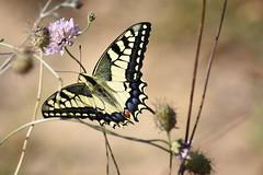 Papilio machaon (esta_ahi) Tags: canràfolsdelscaus mariposa papallona butterfly lepidoptera insectos fauna avinyonet penedès barcelona spain españa испания papiliomachaon papilio machaon papilionidae
