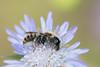 0B9A0419 (GOLDENORFE) Tags: corfu kassiopi bee minerbee flower