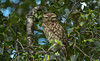 Little owl - I can see you! (Ann and Chris) Tags: avian amazing cute eyes elusive gorgeous owl little nature outdoors stunning unusual