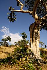 Trees in Tissisat - Amhara Region - Ethiopia (PascalBo) Tags: nikon d300 ethiopia ethiopie amhara africa afrique eastafrica afriquedelest hornofafrica cornedelafrique landscape paysage nature outdoor outdoors tree arbre pascalboegli