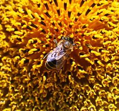 ...im Zentrum (jueheu) Tags: biene zentrum centrum center sonnenblume sunflower blume flower blüte bee gelb yellow orange flügel wing braun brown insekt natur natura nature