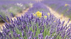 Champs de lavandes à Valensole (Missfujii) Tags: champs nature lavande valensole provence plante