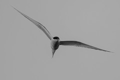 Arctic Tern (Phil Gower Bird Photography) Tags: arctic tern