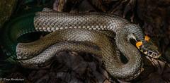 Grass snake. (Timo Airaksinen) Tags: snake grasssnake sony a77 minolta200mm finland suomi airakti timoairaksinen kirkkonummi degerby sonyalpha fildlifephotography