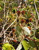 2017-08-09_13-12-54 Blackberries (canavart) Tags: knockanhill knockanhillpark goldengrass bc saanich victoria vancouverisland britishcolumbia meadow canavart blackberry blackberries berry berries himalayanblackberry
