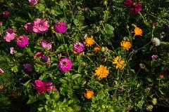 Flower meadow (Markus Branse) Tags: german deutschland wiese blumenwiese meadow flower flowers bunt grün green colour color colorfull blüten bloem garten blume