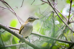 Sawgrass Lake Park Red-eyed Vireo 09-01-2017 (Jerry's Wild Life) Tags: florida pinellascounty revi redeyed redeyedvireo saintpetersburg sawgrasslake sawgrasslakepark songbird songbirds stpetersburg vireo vireoolivaceus