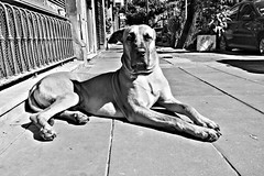 Chulo (Wal Wsg) Tags: perro dog animal animals animalworld mundoperruno byn bw argentina buenasaires caba