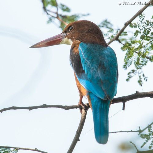 """White-throated Kingfisher (Halcyon smyrnensis) • <a style=""""font-size:0.8em;"""" href=""""http://www.flickr.com/photos/59465790@N04/36178831804/"""" target=""""_blank"""">View on Flickr</a>"""